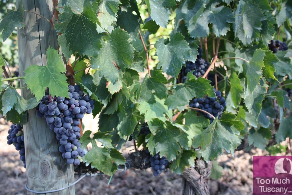 Grape in Tuscany