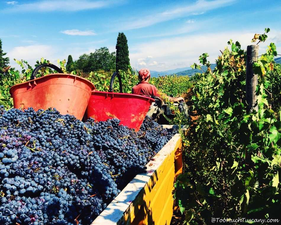 Harvest in Tuscany