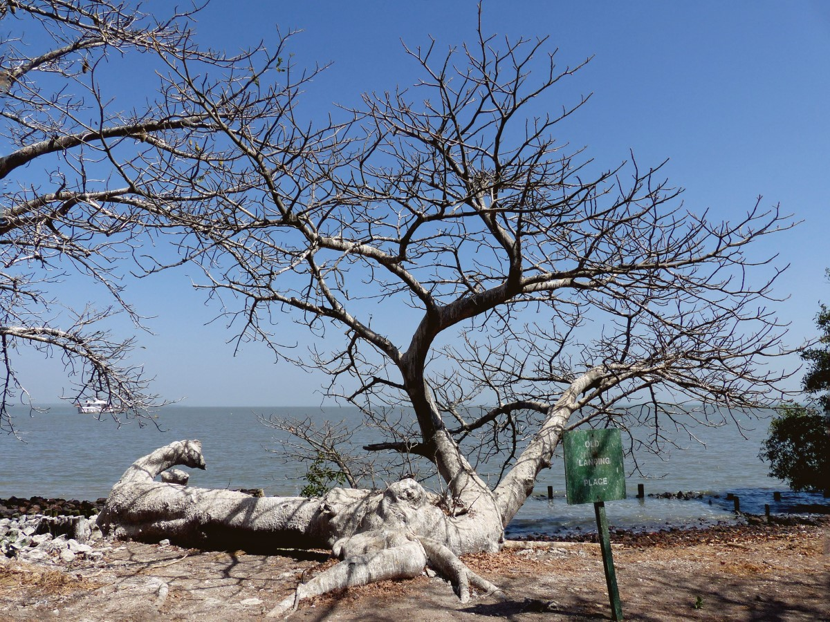 Baobab tree on river bank