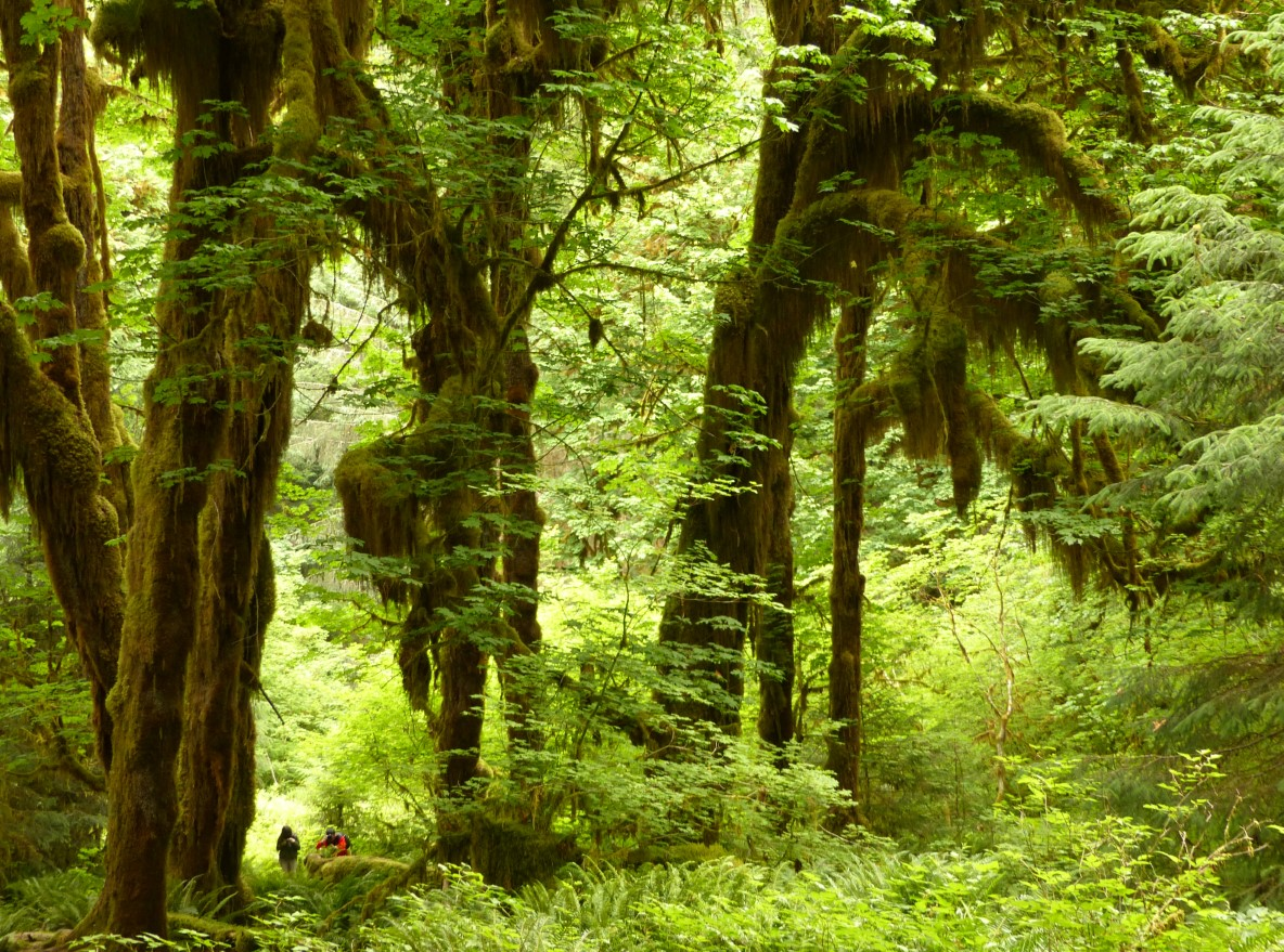 People walking through tall trees covered in moss