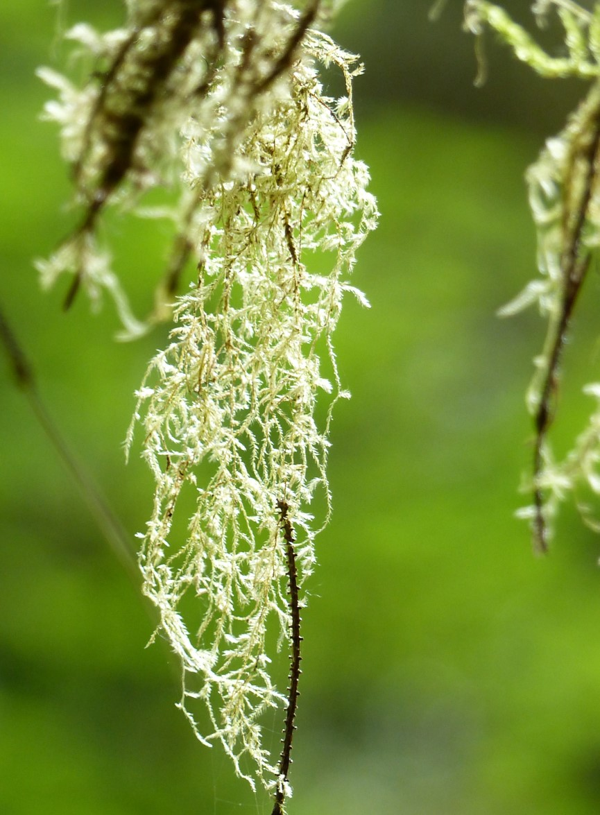 Moss hanging from a twig
