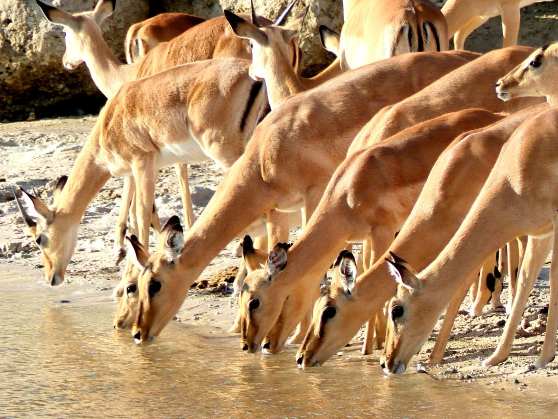 Row of impala drinking from a river
