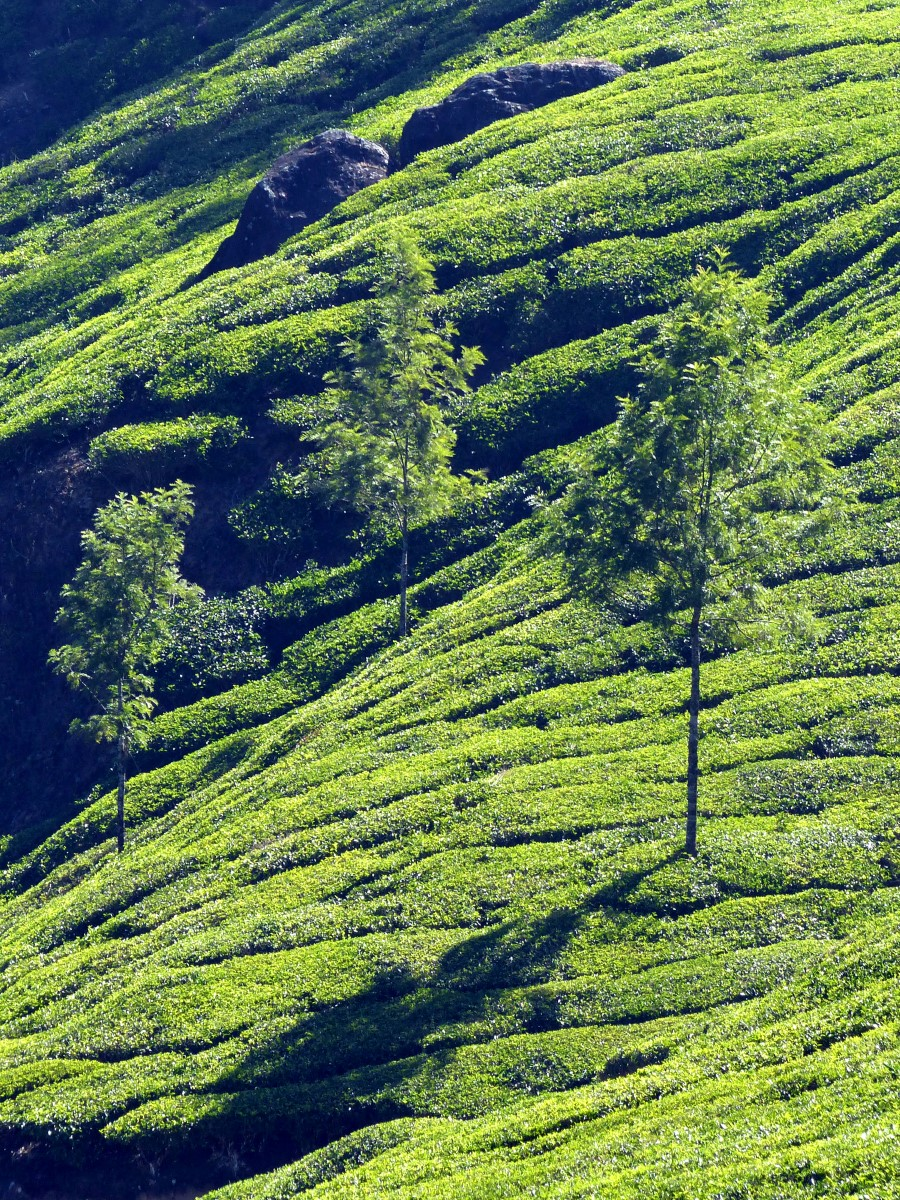 Green hillside with tea bushes and trees