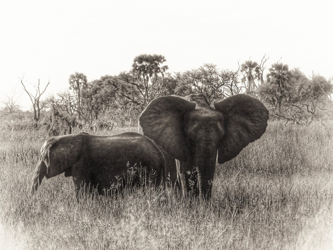 Two elephants in long grass in black and white