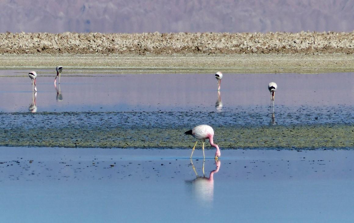 Blue lake with flamingos feeding