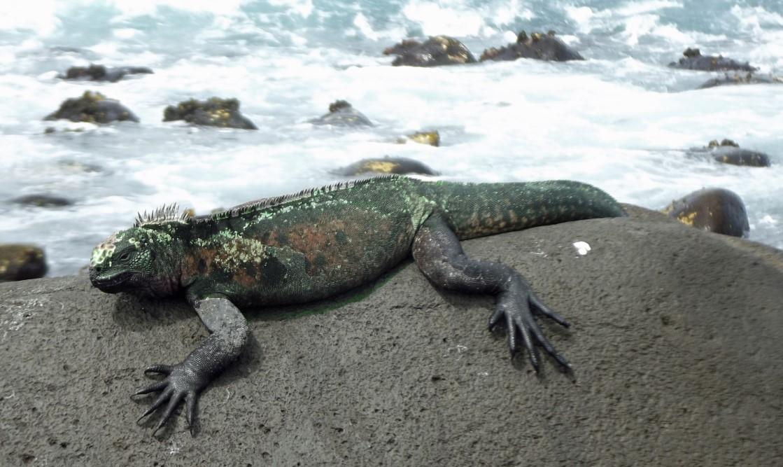 Iguana on a rock by the sea