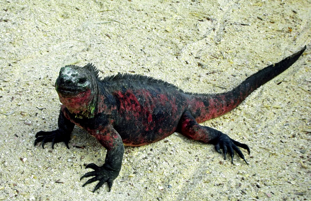 Red and black iguana
