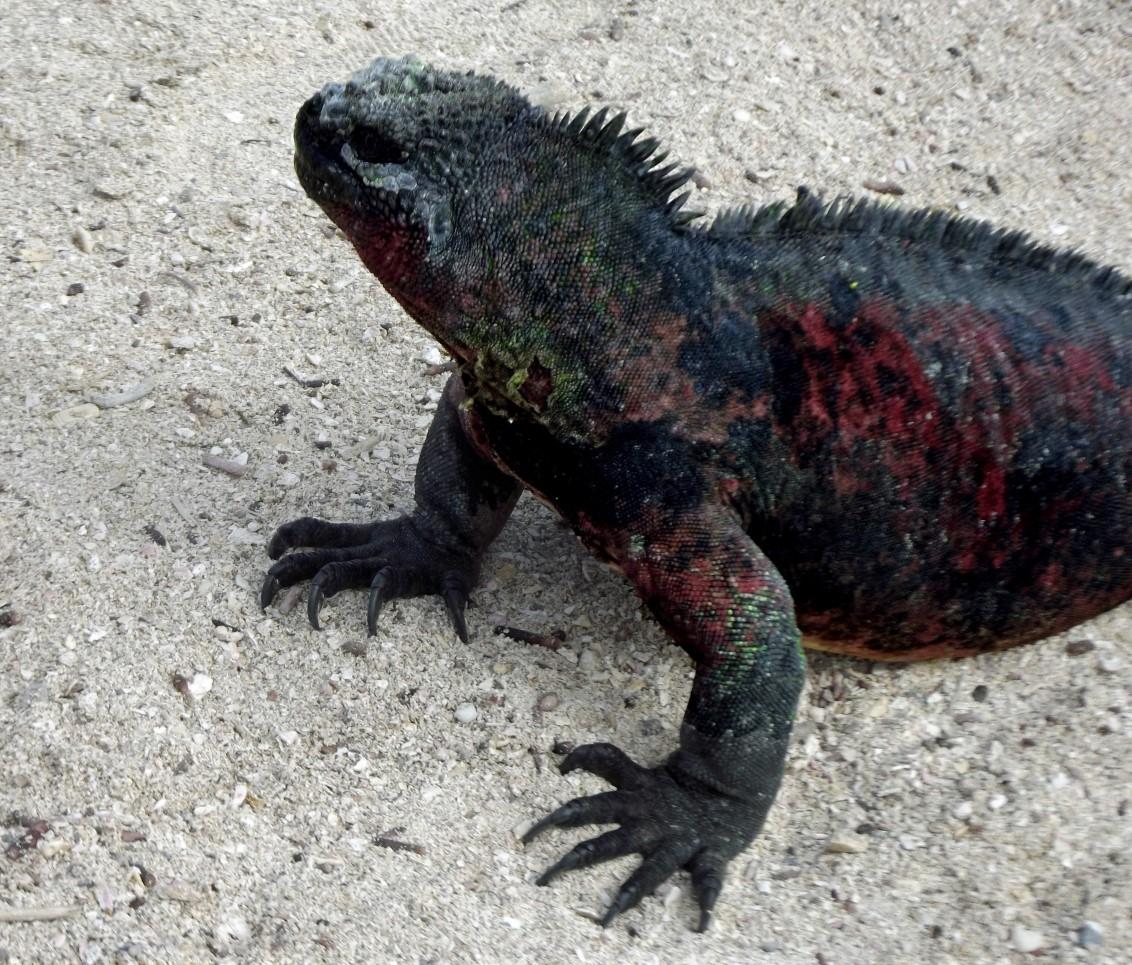 Black and red iguana