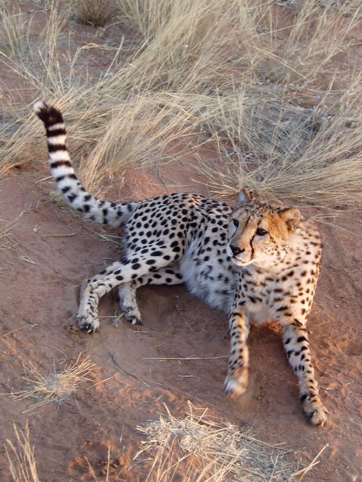 Cheetah lying on the ground