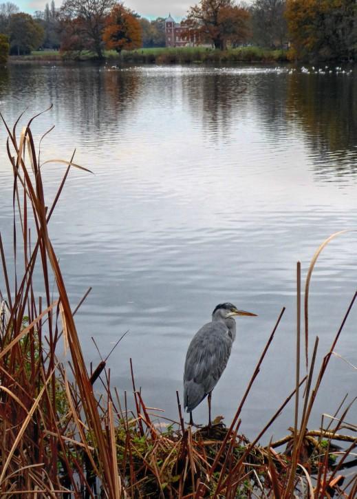 Heron by a lake