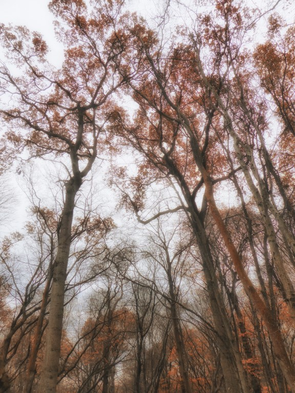 Looking up at trees with brown leaves
