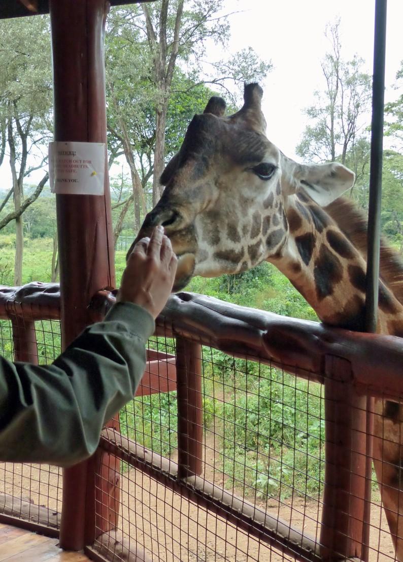 Man hand feeding a giraffe