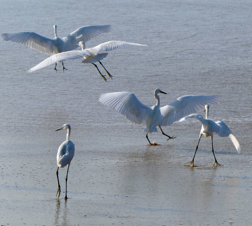 Egrets flying low and walking in the sea