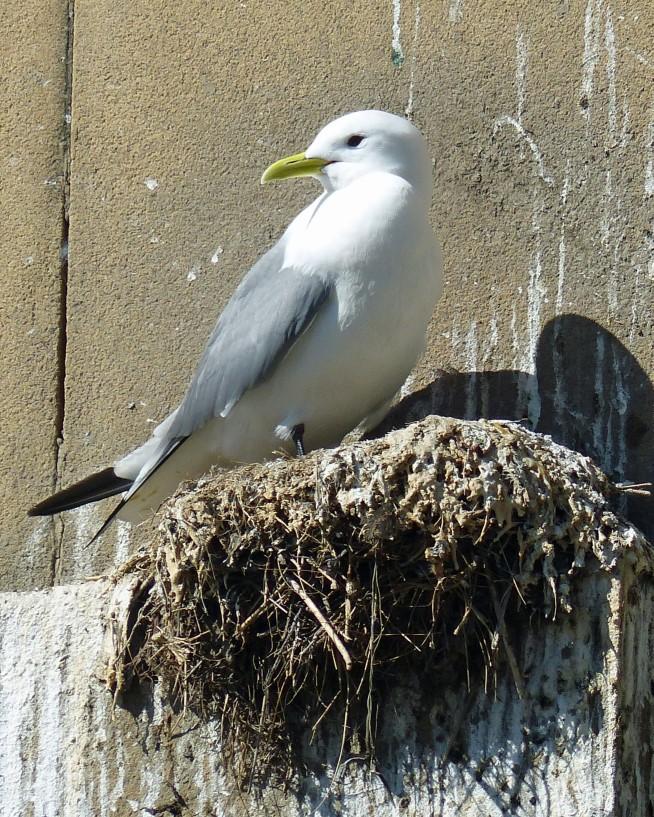 Kittiwake on a nest