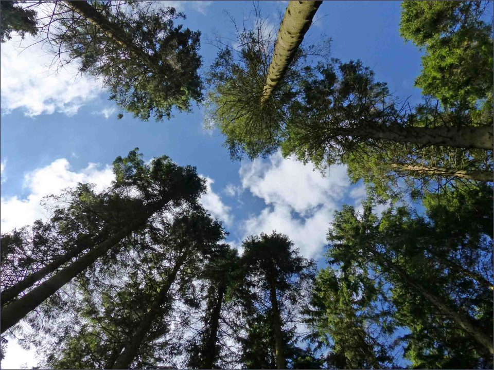 Looking up through pine trees