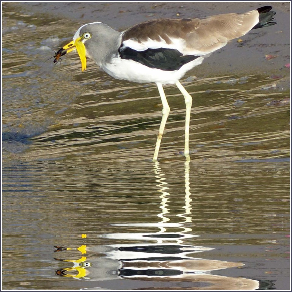 Long legged bird with white and brown plumage