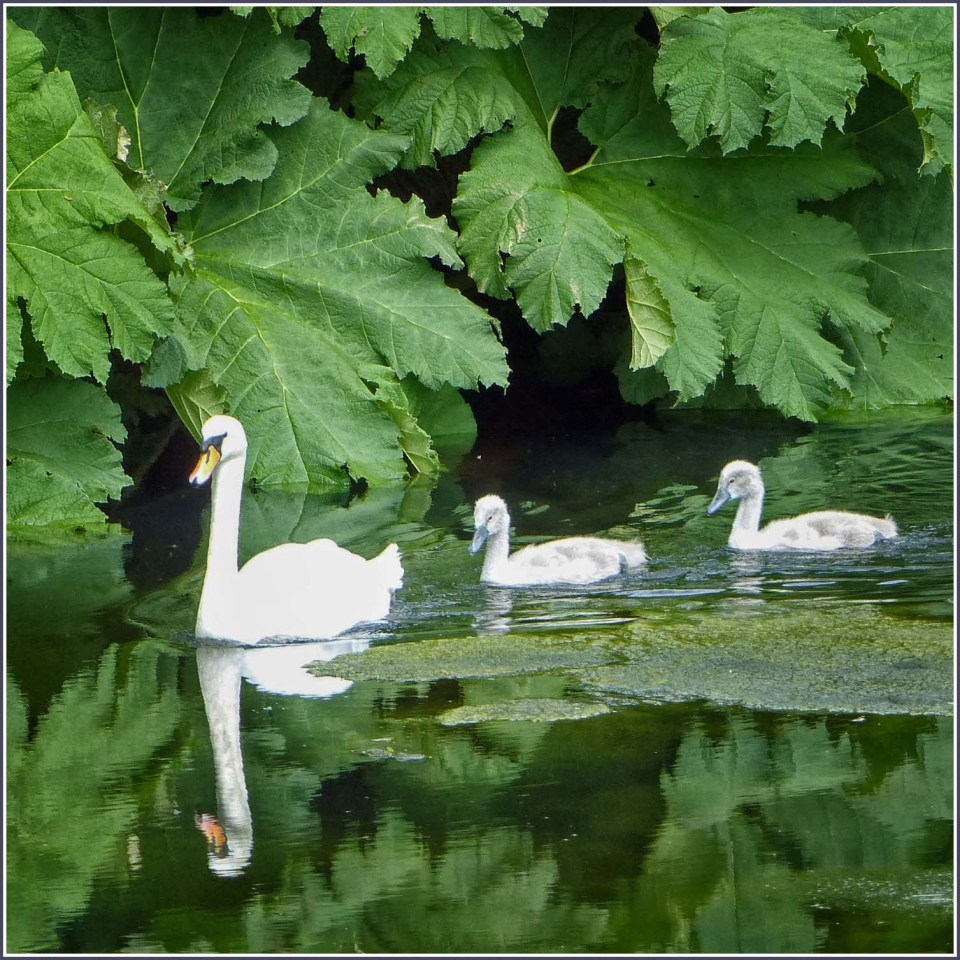 Swan and two cygnets