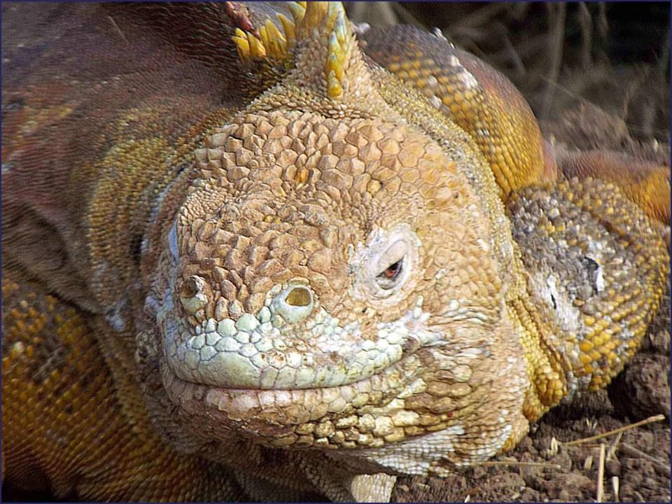 Face of a yellow iguana