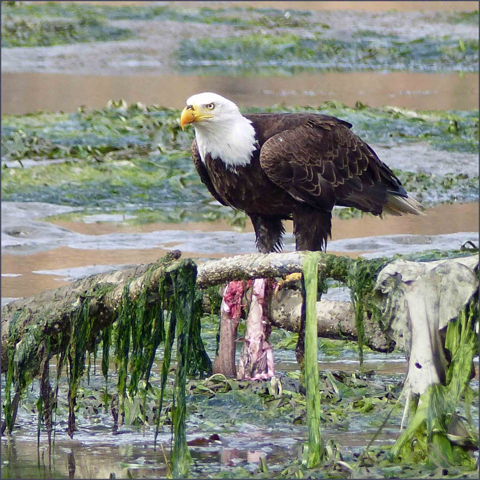 Bald Eagle on dead branch draped with weed