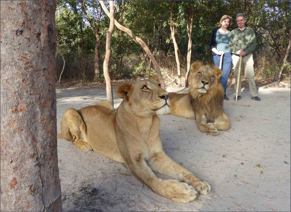Two lions and two people standing nearby