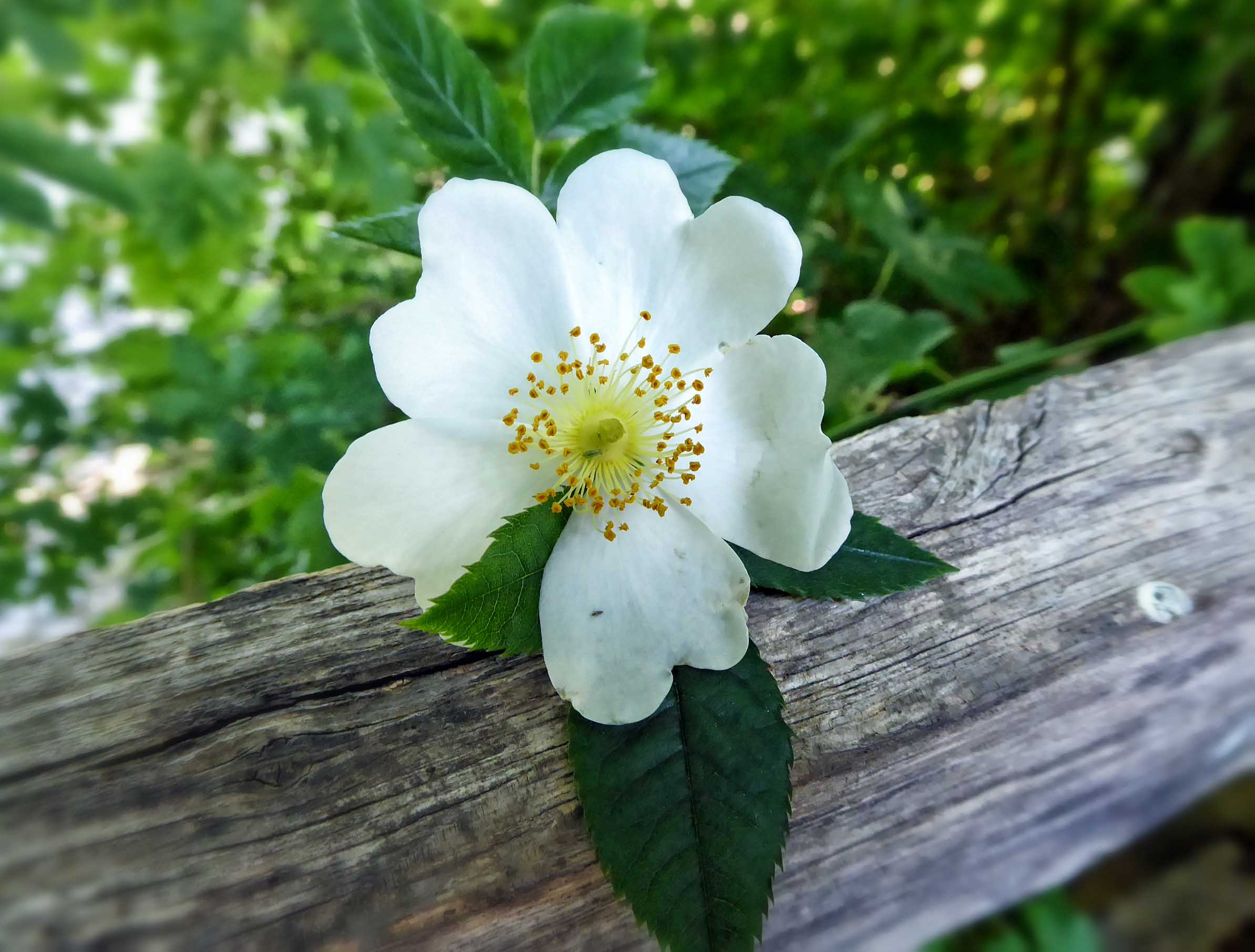 White rose by a log