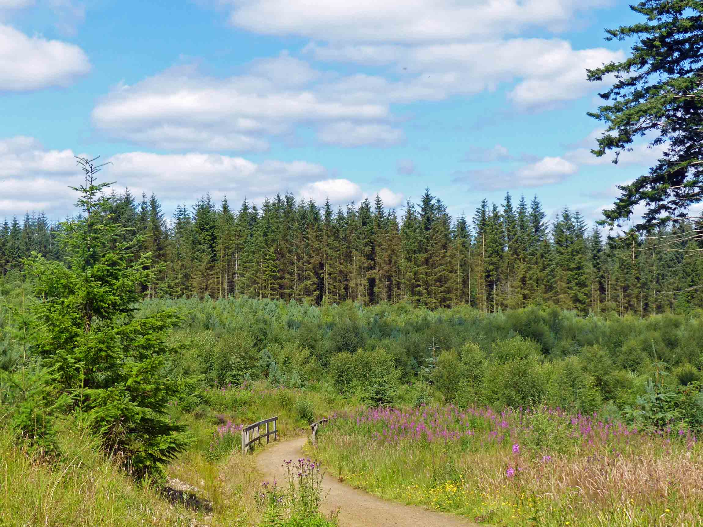 Path through open meadow and pine trees