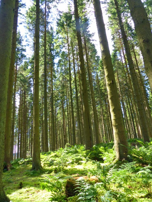 Tall pine trees and ferns