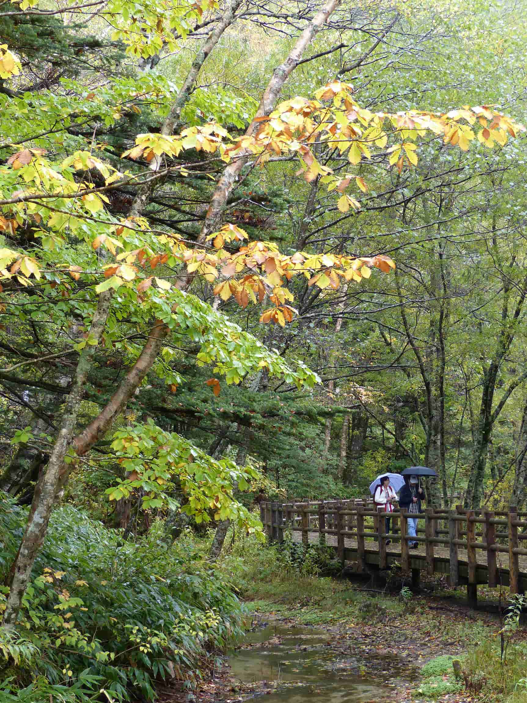 Boardwalk in a wood, people with umbrellas