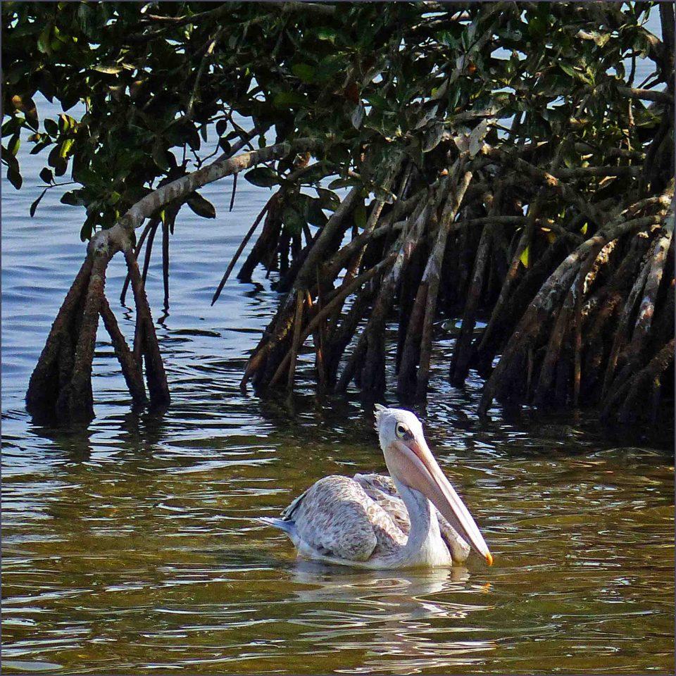 Pelican swimming past mangrove trees