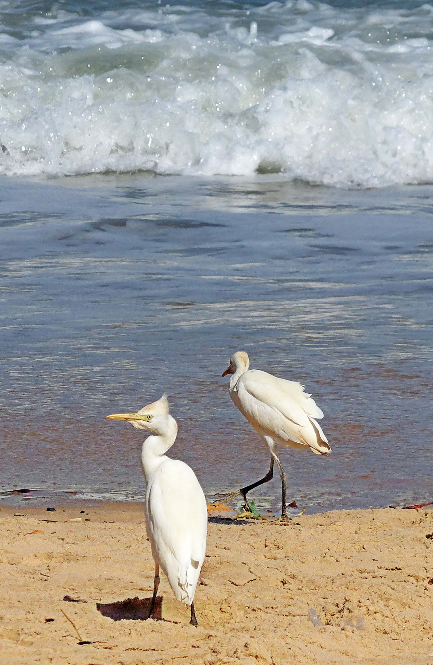 Two large white birds by the sea