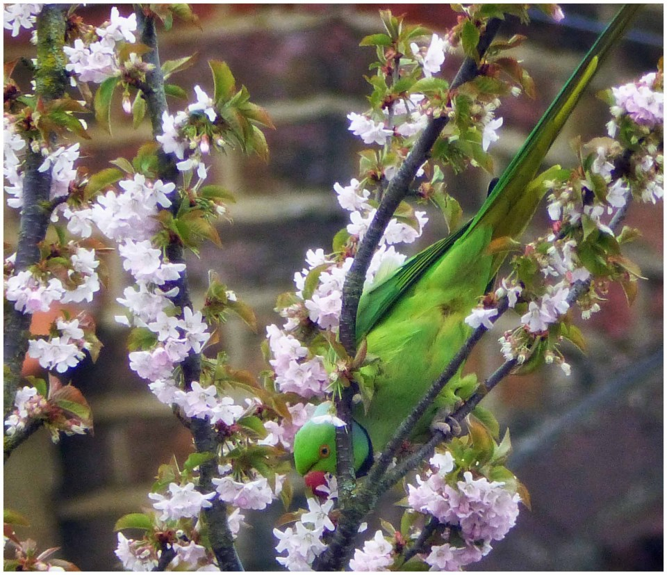 Green parrot in a pink-blossom tree
