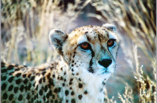 Cheetah head and shoulders