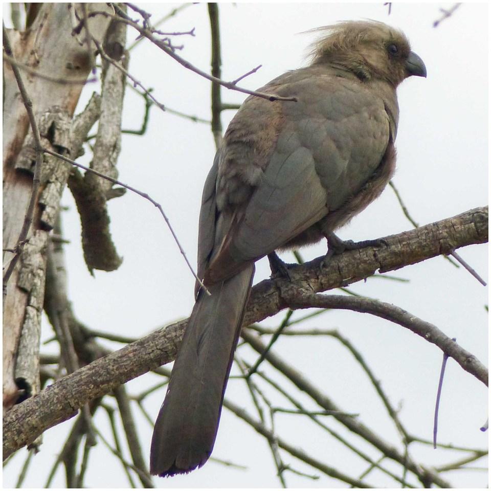 Large grey bird in a tree