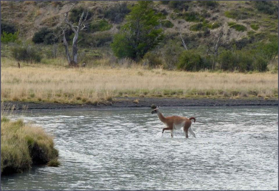 Guanaco in a river