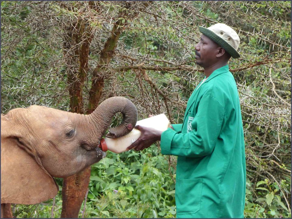 Man feeding a young elephant with milk from a bottle