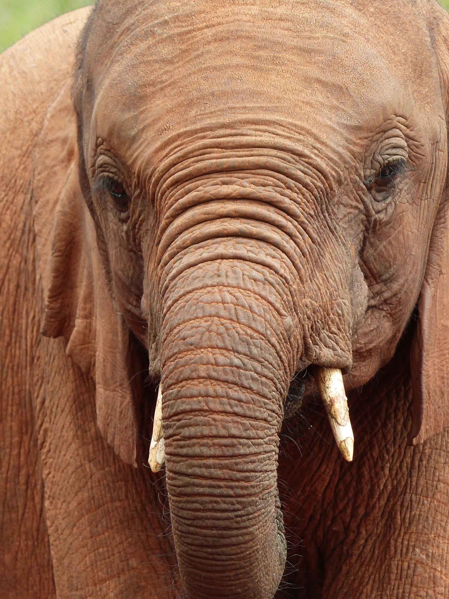 Elephant from the front