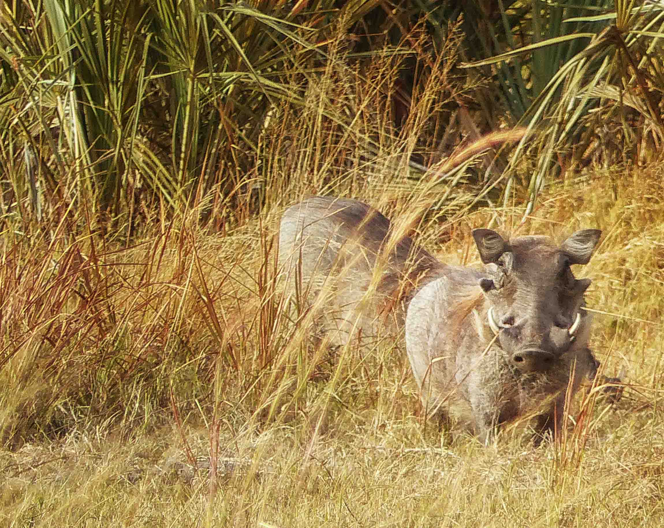 Two warthogs in long grass