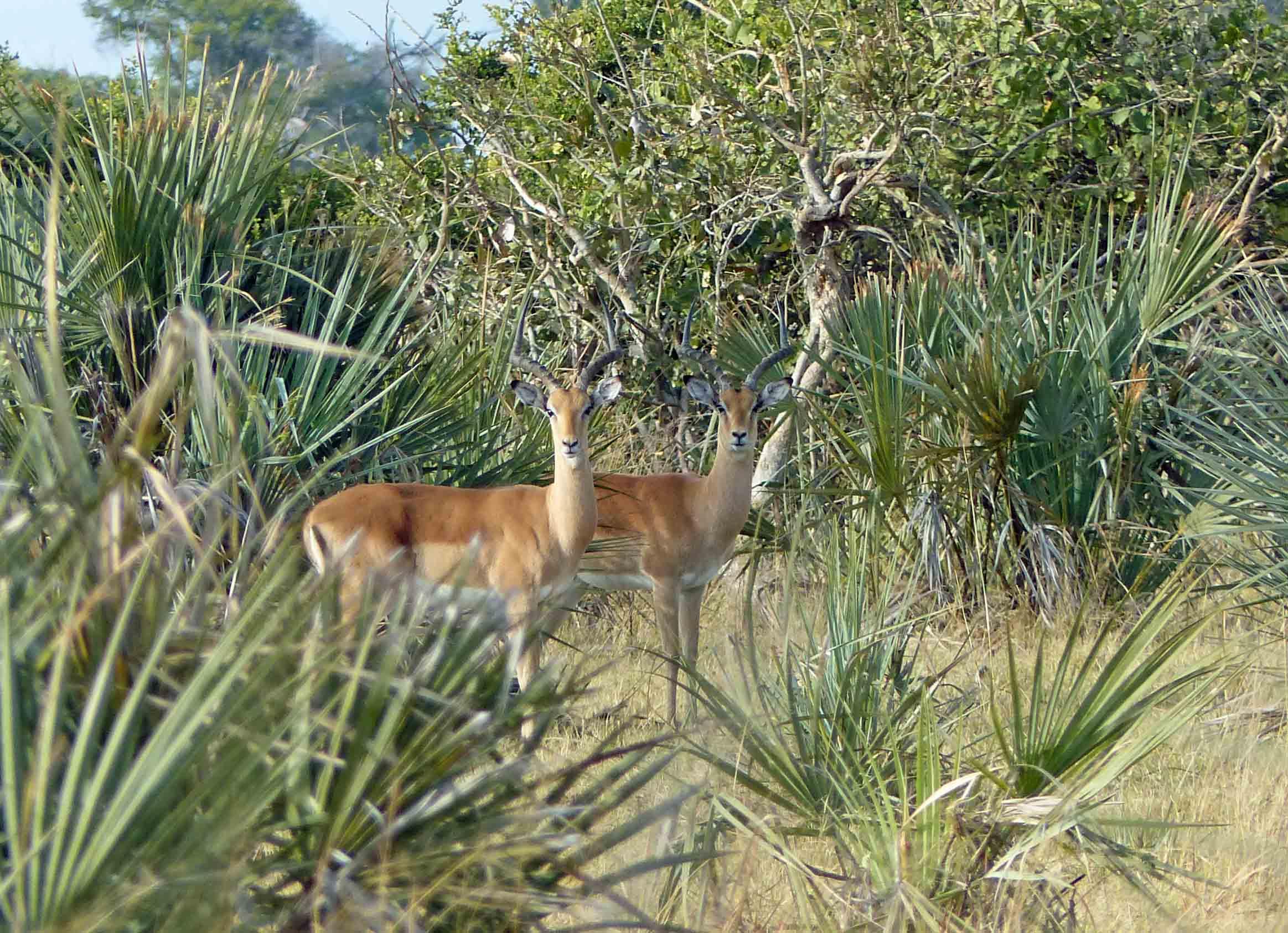 Two antelopes among vegetation