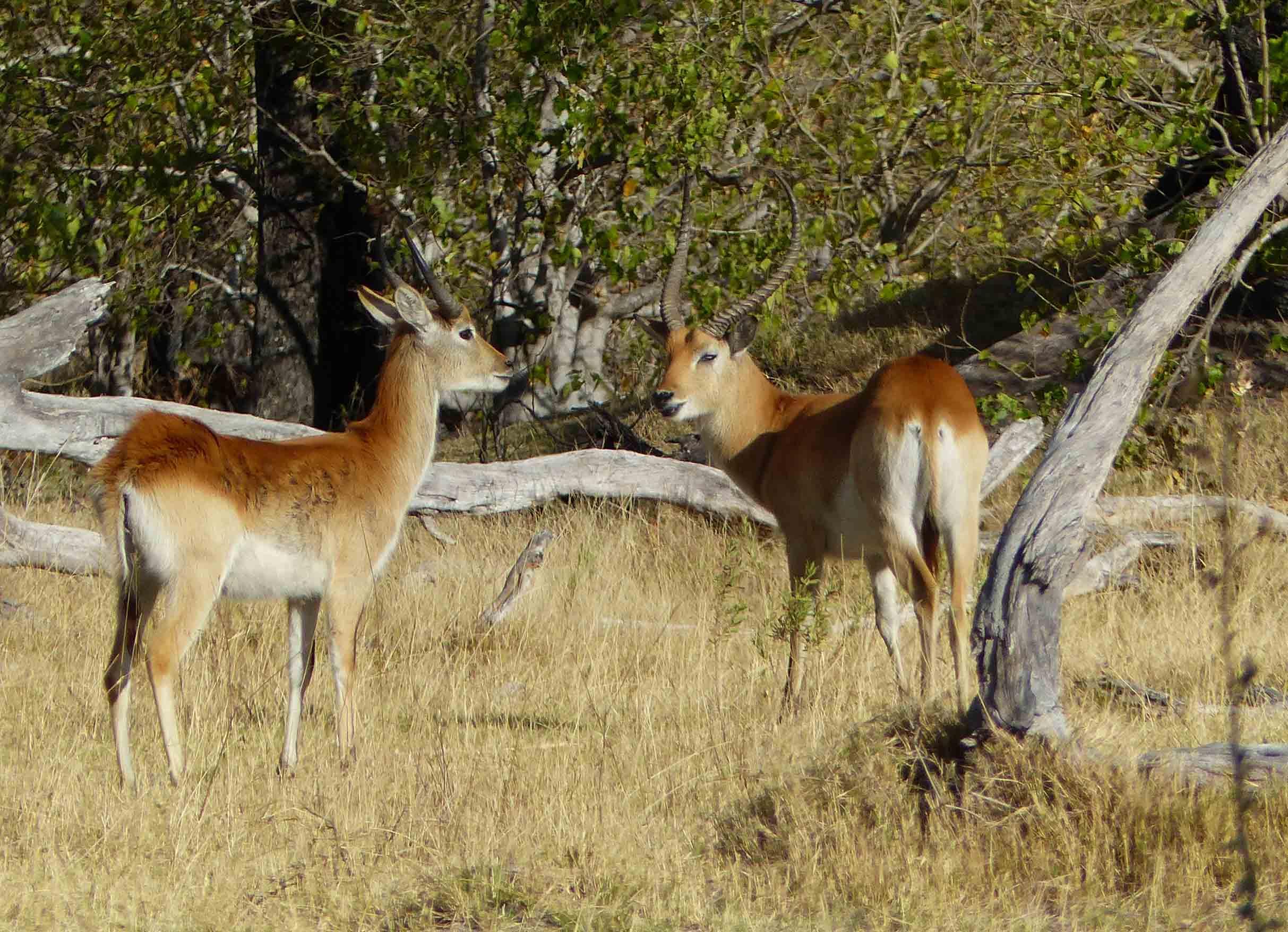 Two deer among trees