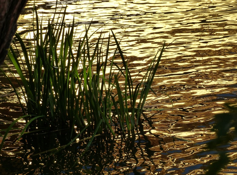 Water gleaming gold with rushes