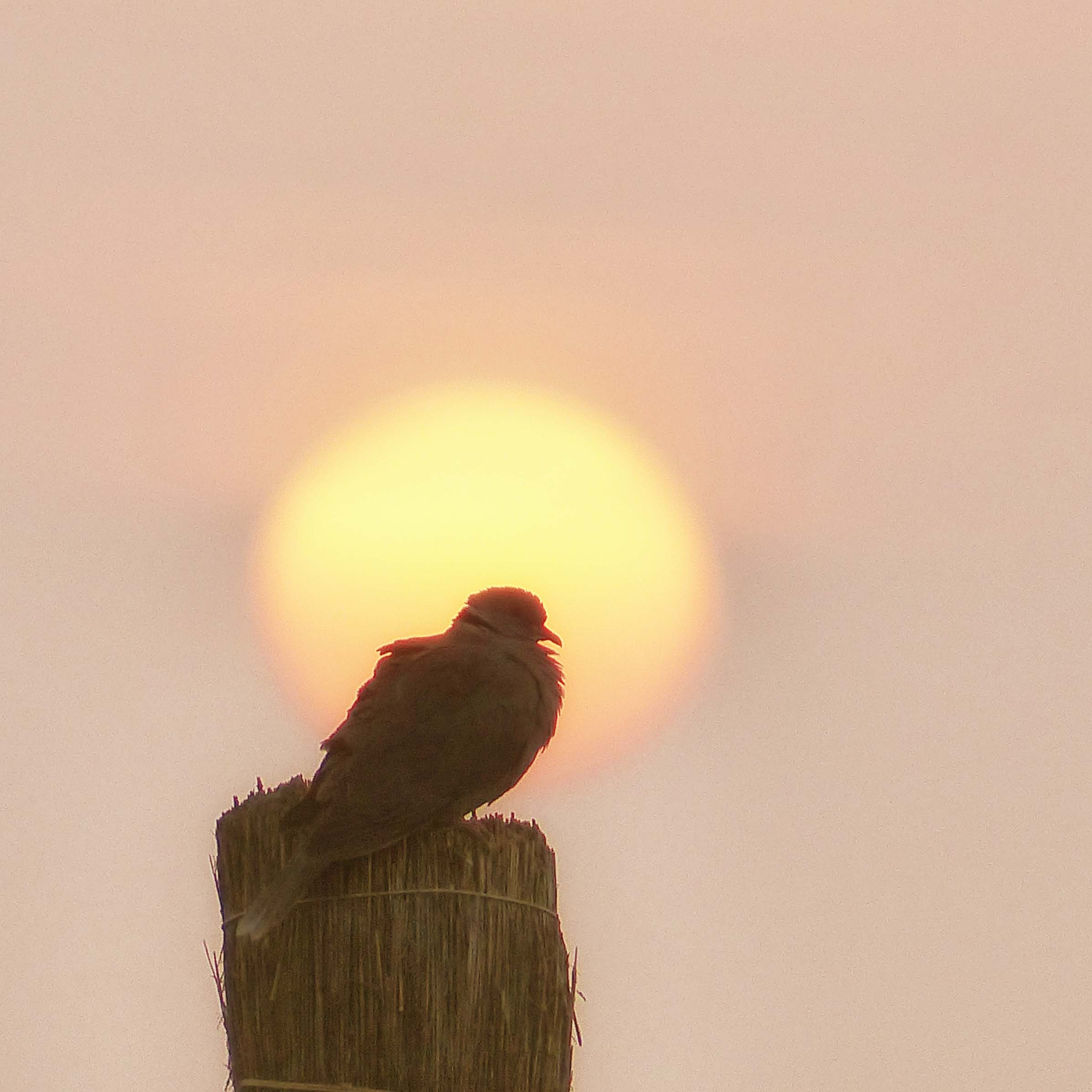 Pigeon on a post with rising sun