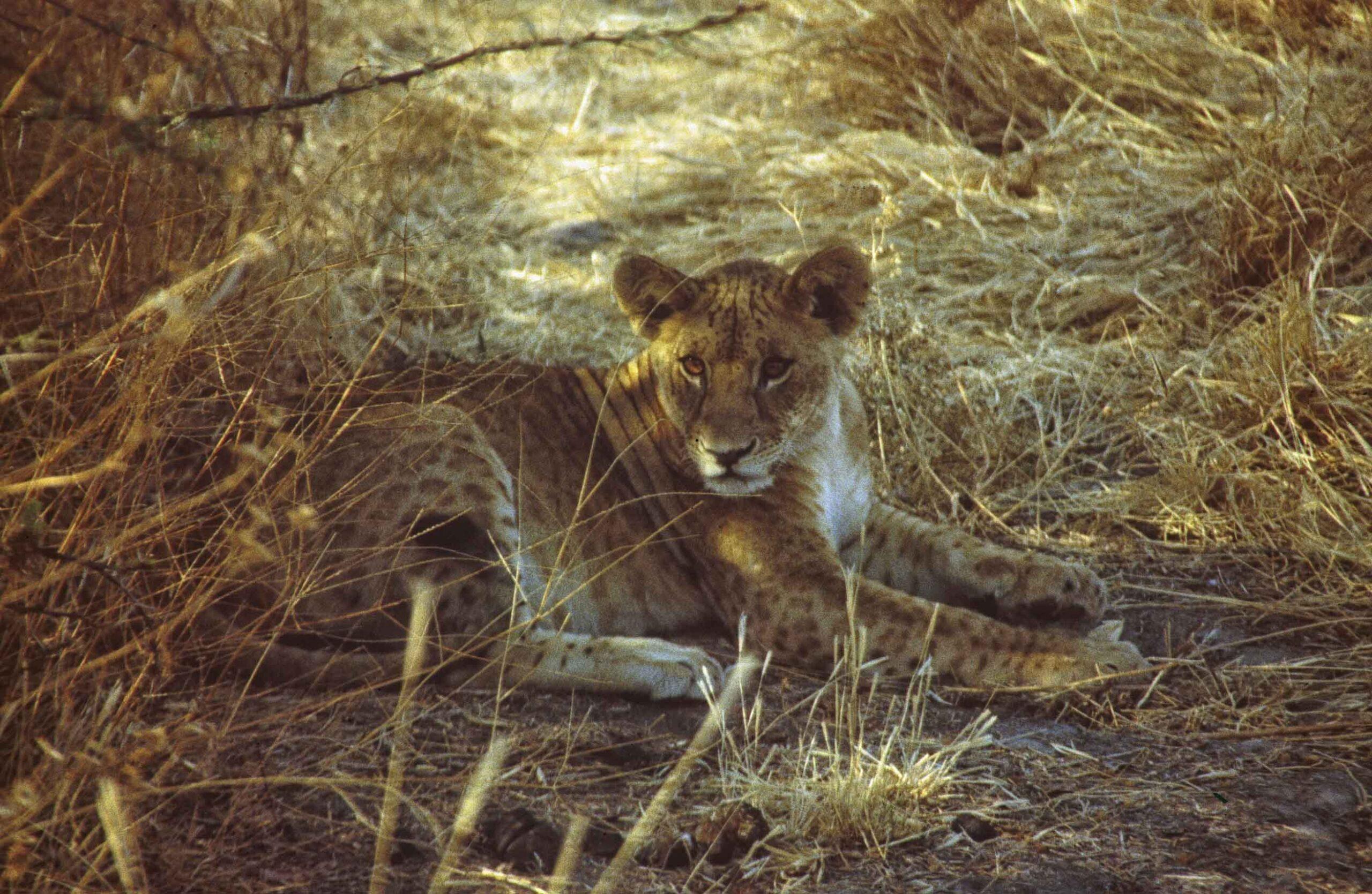 Lion cub under a tree