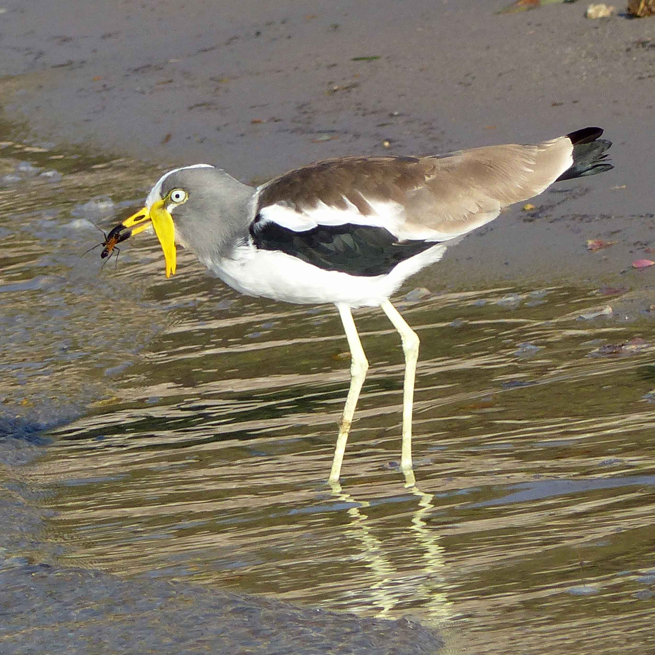 Long-legged bird catching an insect by a river