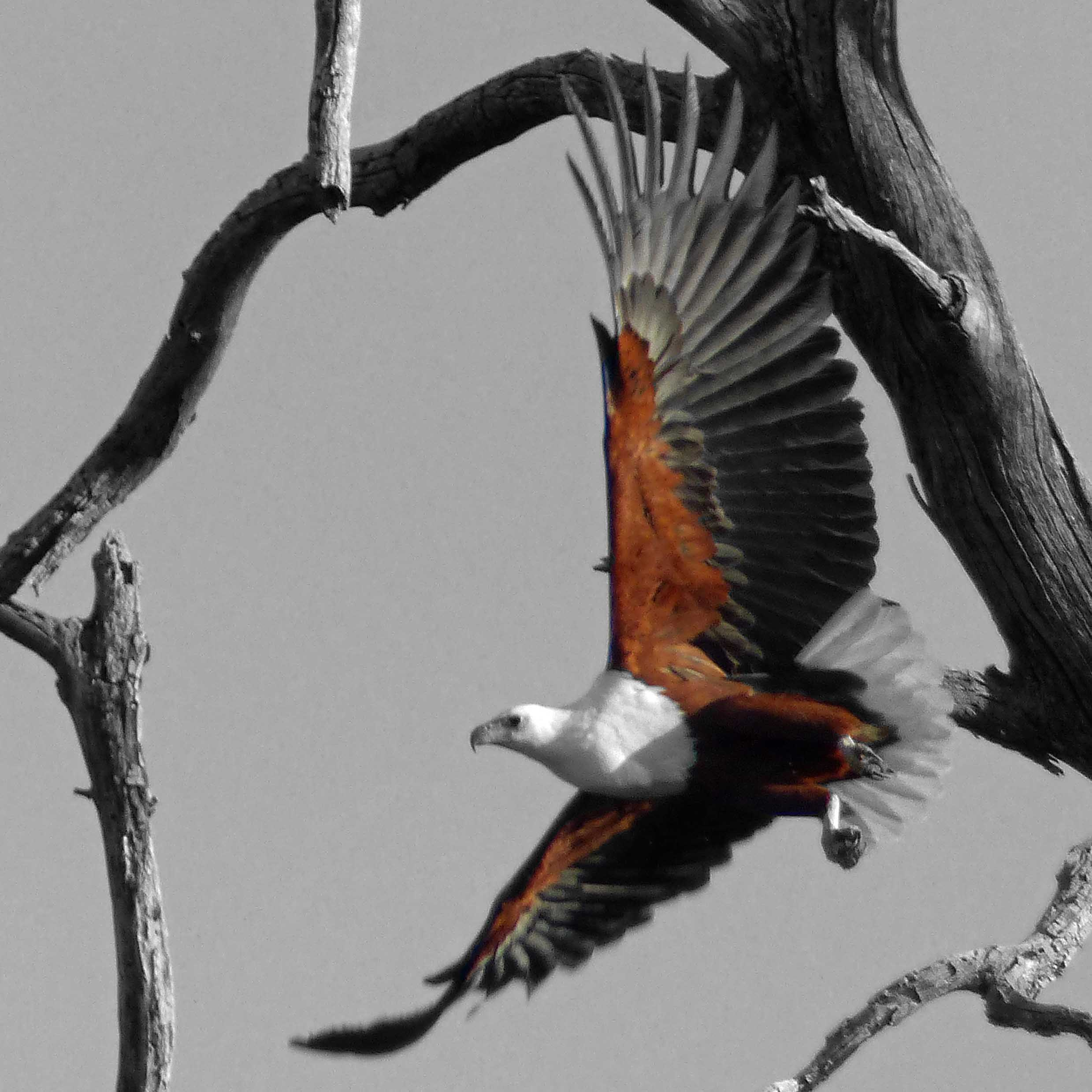 Brown eagle in flight past a dead tree, mostly black and white