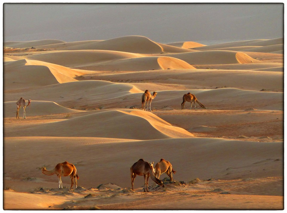 Sand dunes and camels