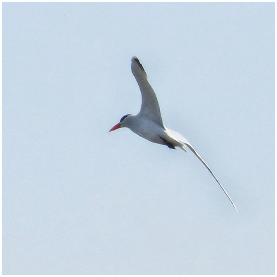 White bird with long tail flying overhead