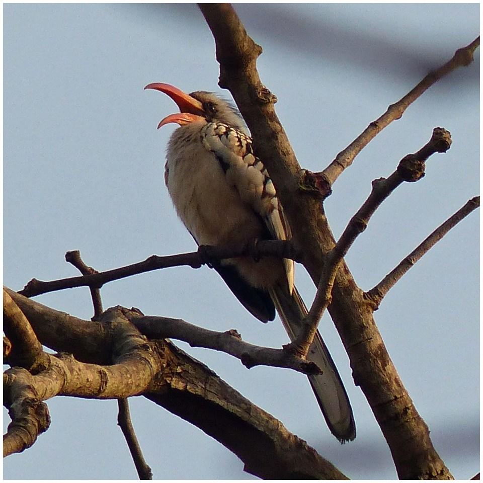 Beige bird with open red beak in a tree