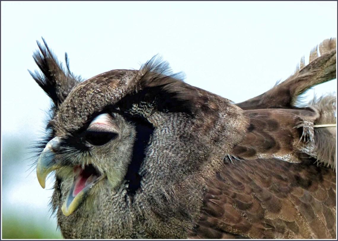 Fierce-looking owl