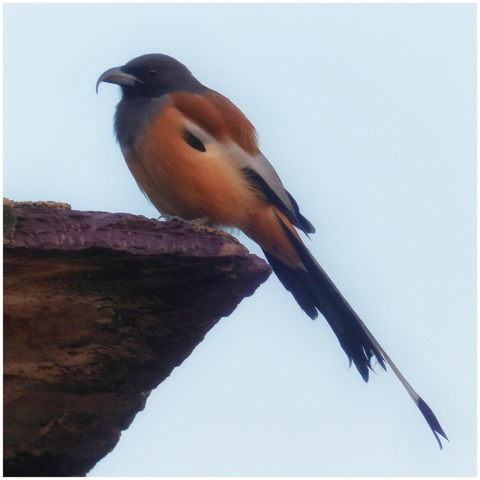 Tan bird with a long tail on a roof