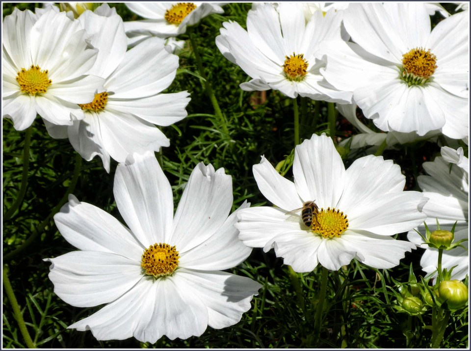 White flowers with a bee on one